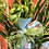 Thumbnail: Orchidea Cymbidium con sottovaso