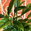 Thumbnail: Spathiphyllum con sottovaso