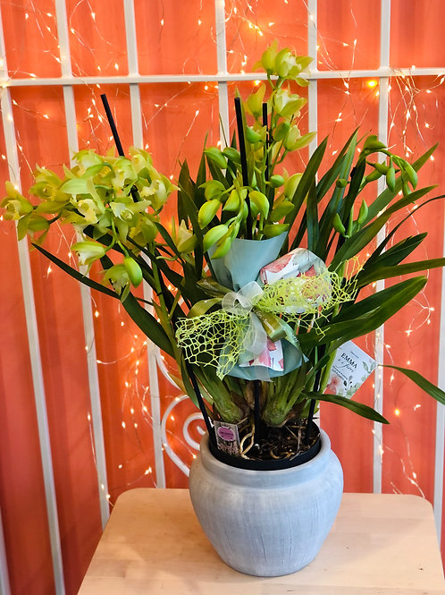 Orchidea Cymbidium con sottovaso