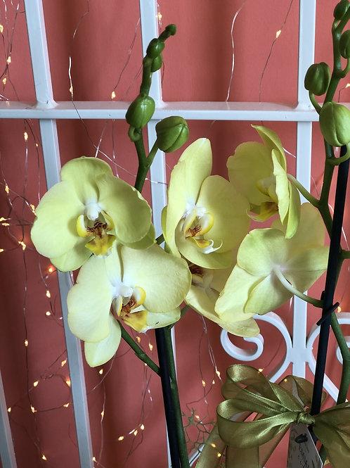 Orchidea Phaleno Gialla con vaso