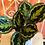 Thumbnail: Calathea Medallion