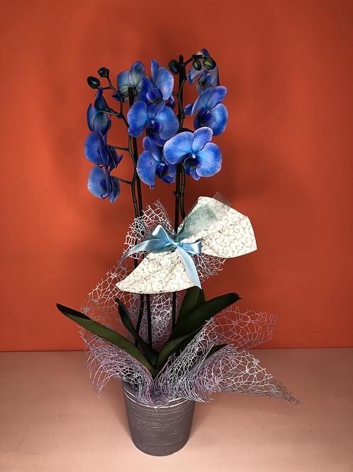 Orchidea Phalenopsis blu con sottovaso