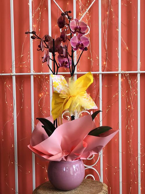 Orchidea Phaleno rosa con vaso