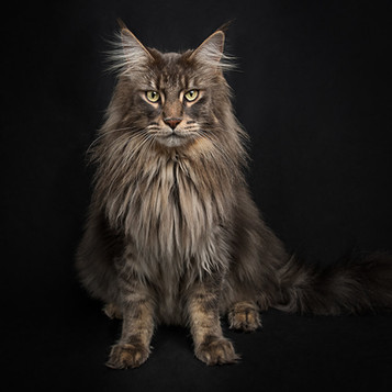 002_sussex_mainecoon_photographer.jpg