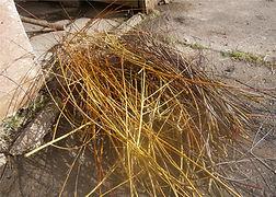 Willow harvested.JPG