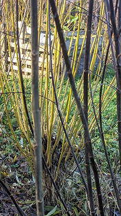 yellow willow and purple browny black.jp