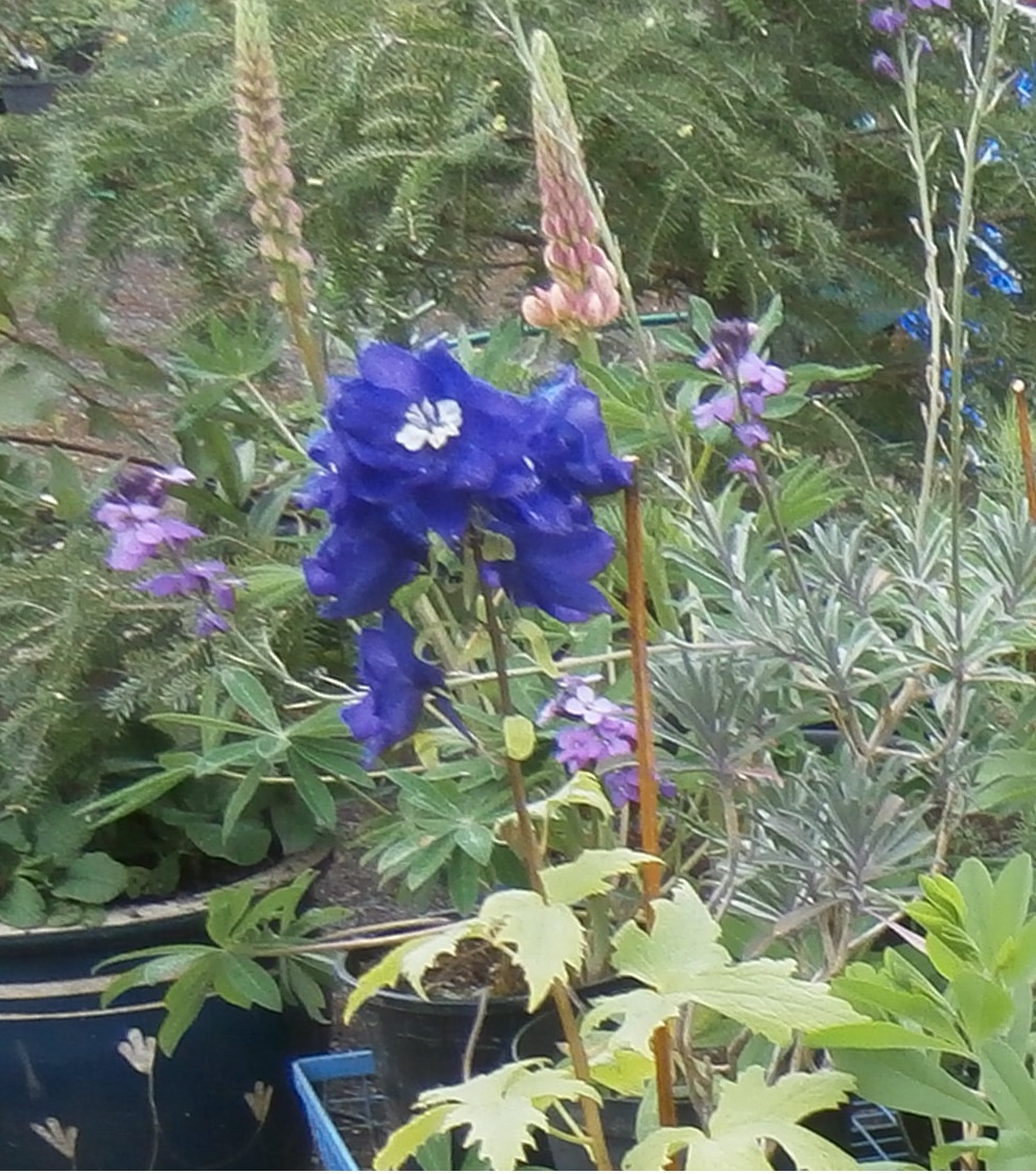 Delphinium and lupin time!