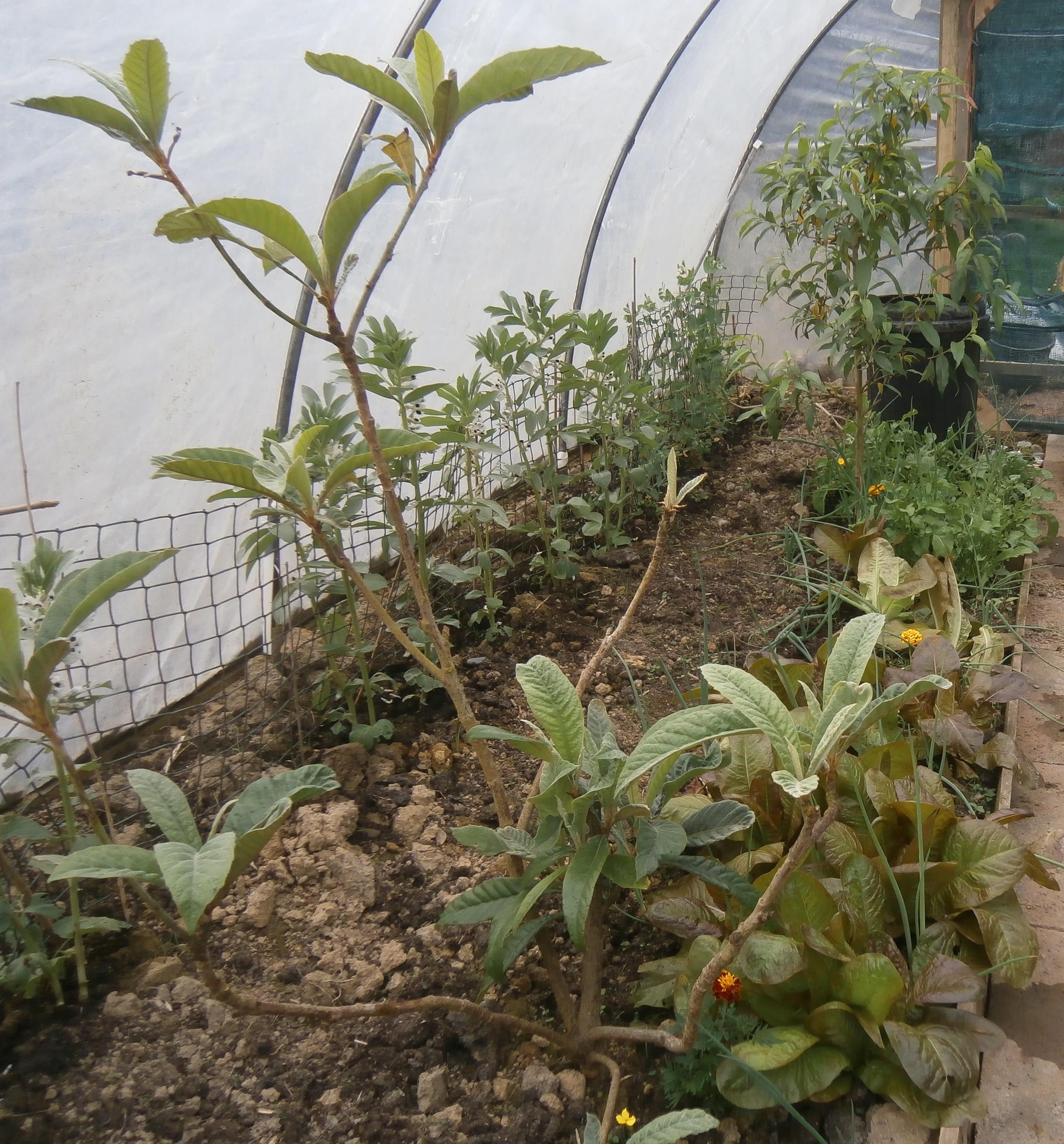 Loquat and lettuce