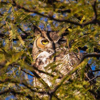 owl2_49548776811_o.jpg
