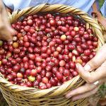 Why Organic Coffee?