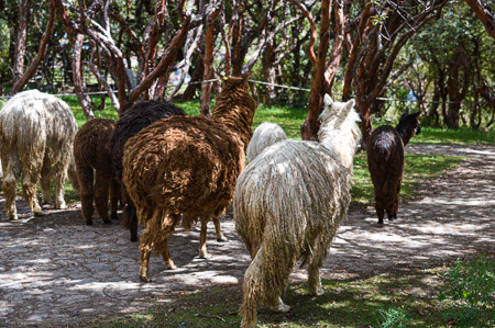 Is Alpaca Wool the Softest Wool? (Compared to Qiviut, Angora, Llama, Cashmere, Camel, Sheep, Bison)