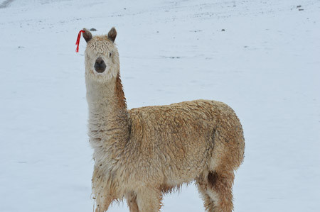 Is Alpaca Wool Warm?