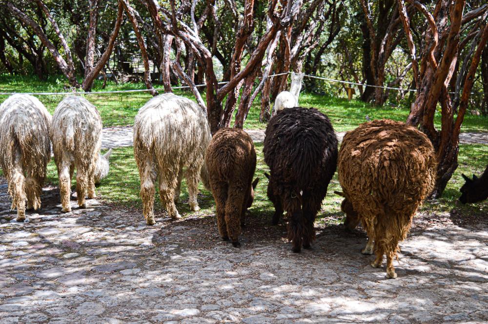 Suri alpacas (left) brown alpaca (middle) and llamas (right)