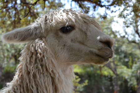 Is Alpaca Wool Hypoallergenic? (Lanolin Free)