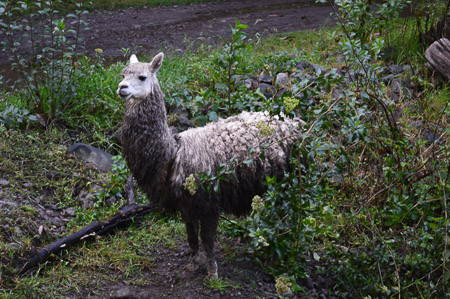 How Do You Wash Alpaca Woolen Products? (Step-By-Step Guide)