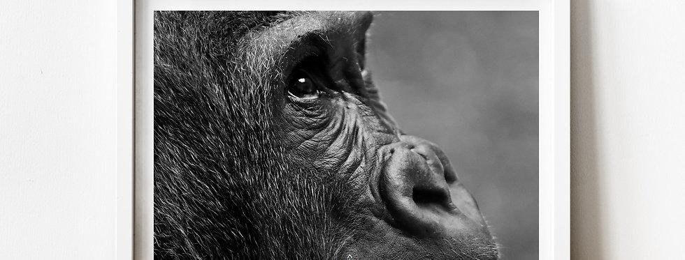 Affiche Photo d'un gorille de profil 225