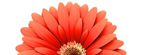 Red%20daisy%20flower%20isolated%20on%20w