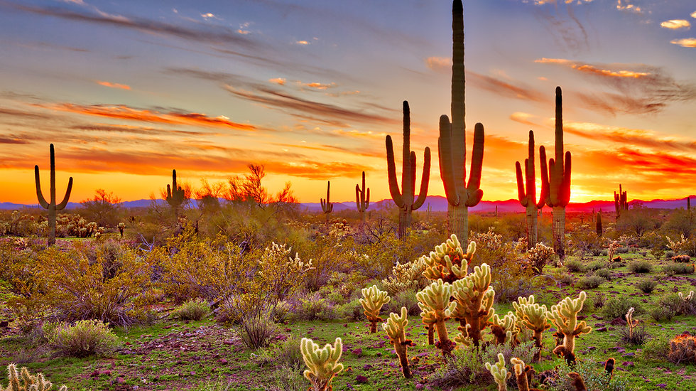 Saguaros at Sunset in Sonoran Desert near Phoenix..jpg