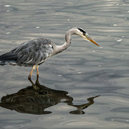 HERON STALKING by Barry Smith.jpg
