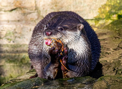 WET OTTER FEEDING