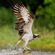 OSPREY WITH BROWN TROUT by Steve Williams.jpg