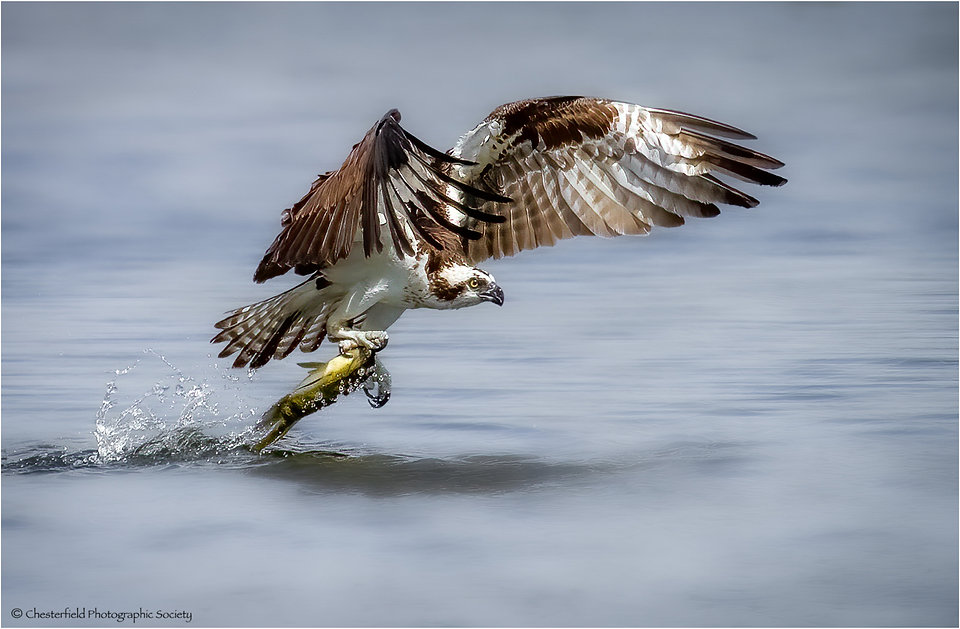 09 OSPREY WITH CATCH by Paul Townson.jpg