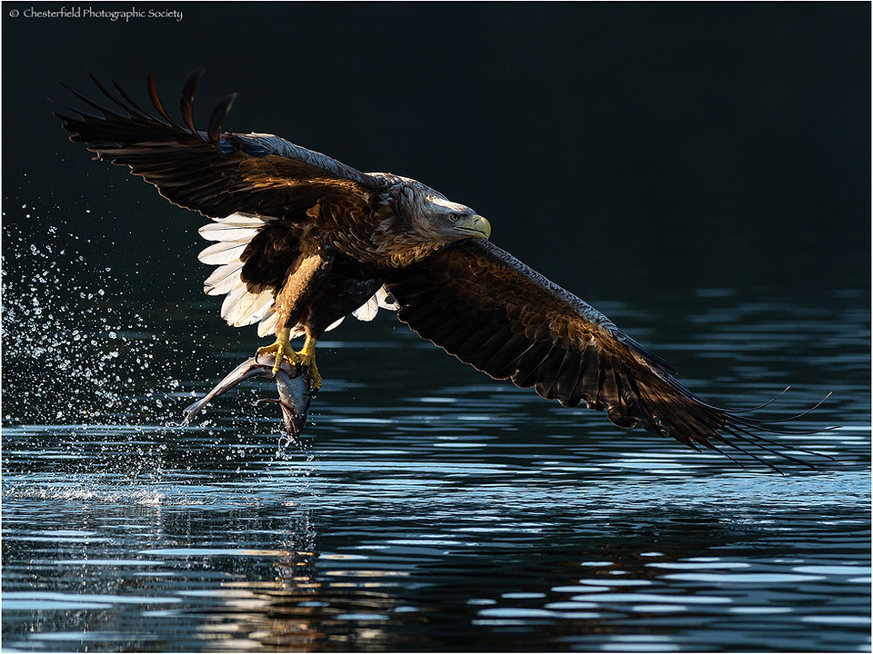 05 WHITE TAILED EAGLE CATCH by Steve Wil