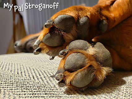 My Pal Stroganoff the doxie teddy bear paws up close.