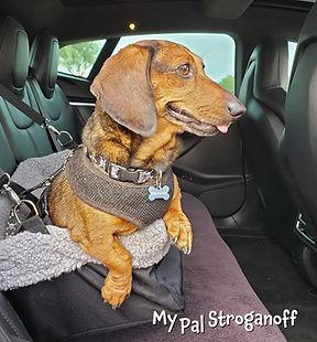Stroganoff the dachshund in his safety seat.