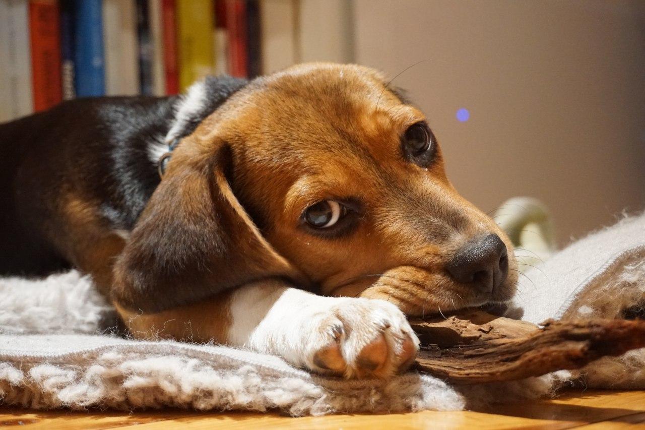 Beagle Hundezucht Buerger