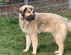 Bersaki Hundezucht Bürger