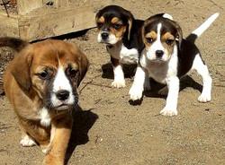 Welpen Hundezucht Bürger