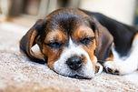 Beagle Hundezucht Bürger