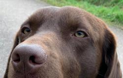 Labrador Hundezucht Bürger