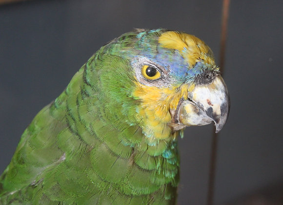 Who's a pretty boy? Victorian Taxidermy Parrot