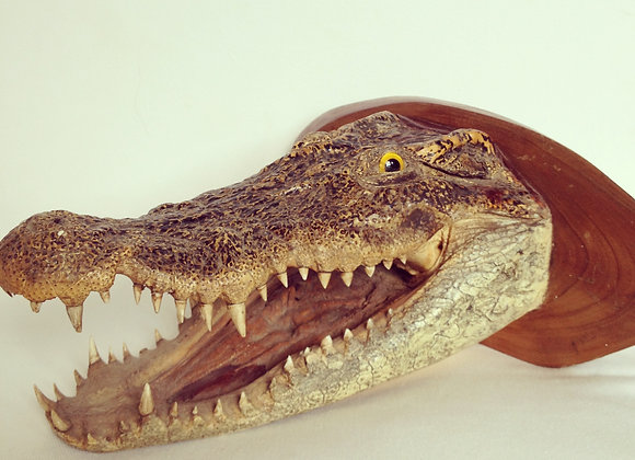 Taxidermy crocodile head, c. 1950