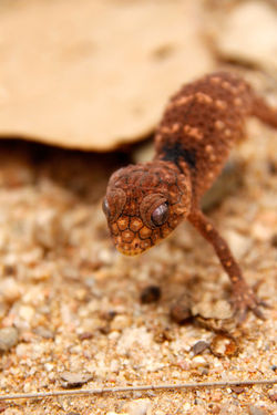 Baby Noby-tailed Gecko