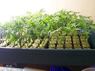 Baby Marijuana Clones