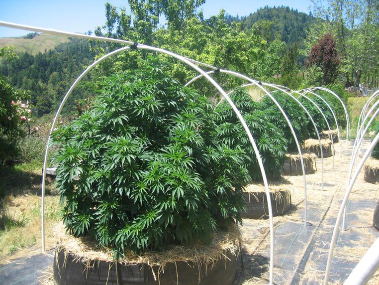 Clones For Sale In Orange County Marijuana Clones