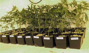 Pre-teen Marijuana Clones