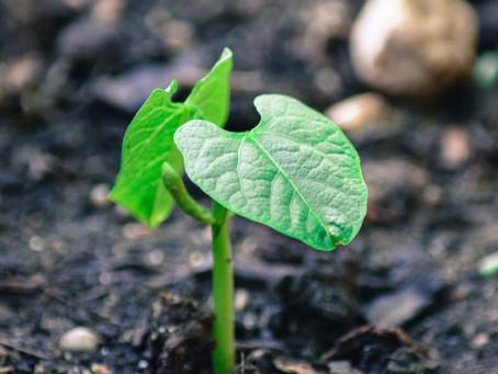 Enfant et jardinage : faire pousser des haricots verts