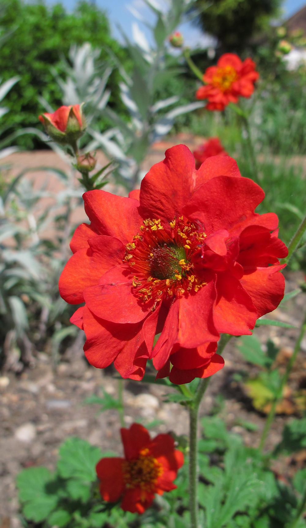 Geum 'Mrs J Bradshaw' flowering in May