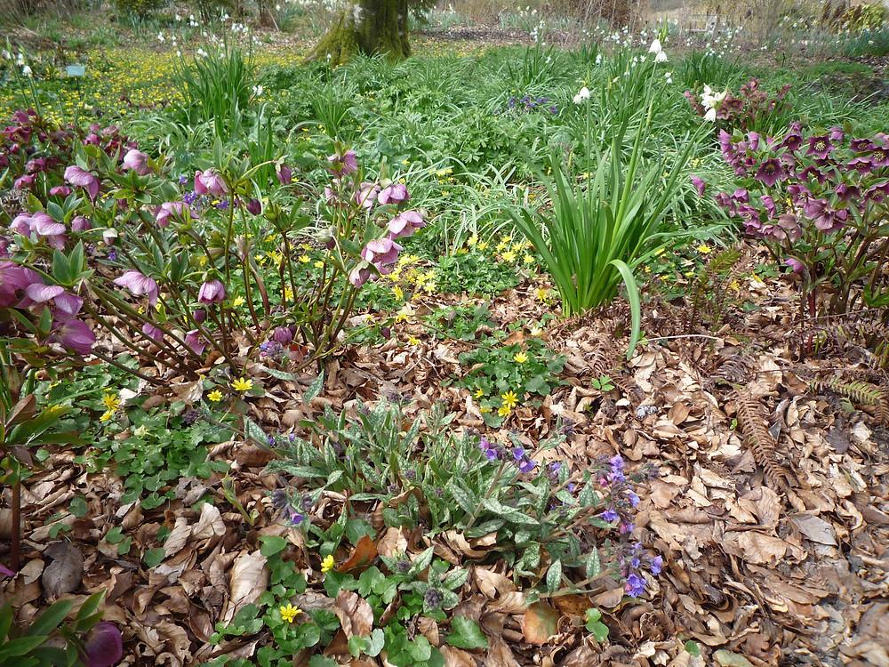 woodland plants, leucojum, pulmonaria, celendines, spring flowers
