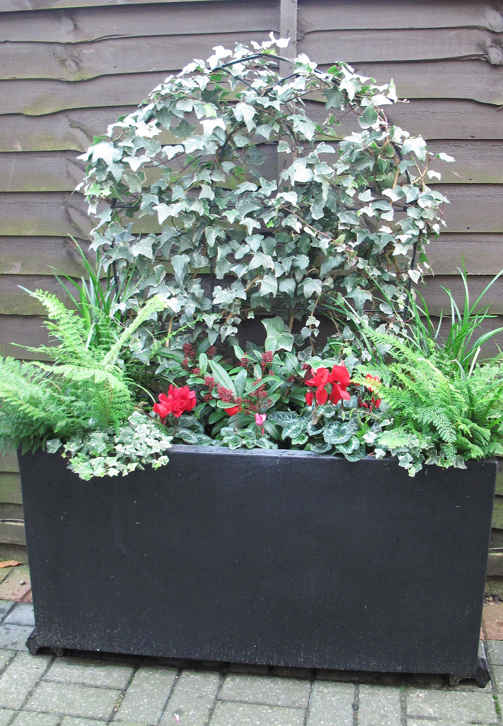 winter windowbox, trough, ivy on frame, gothic arch, cyclamen, ferns, red winter flowers,