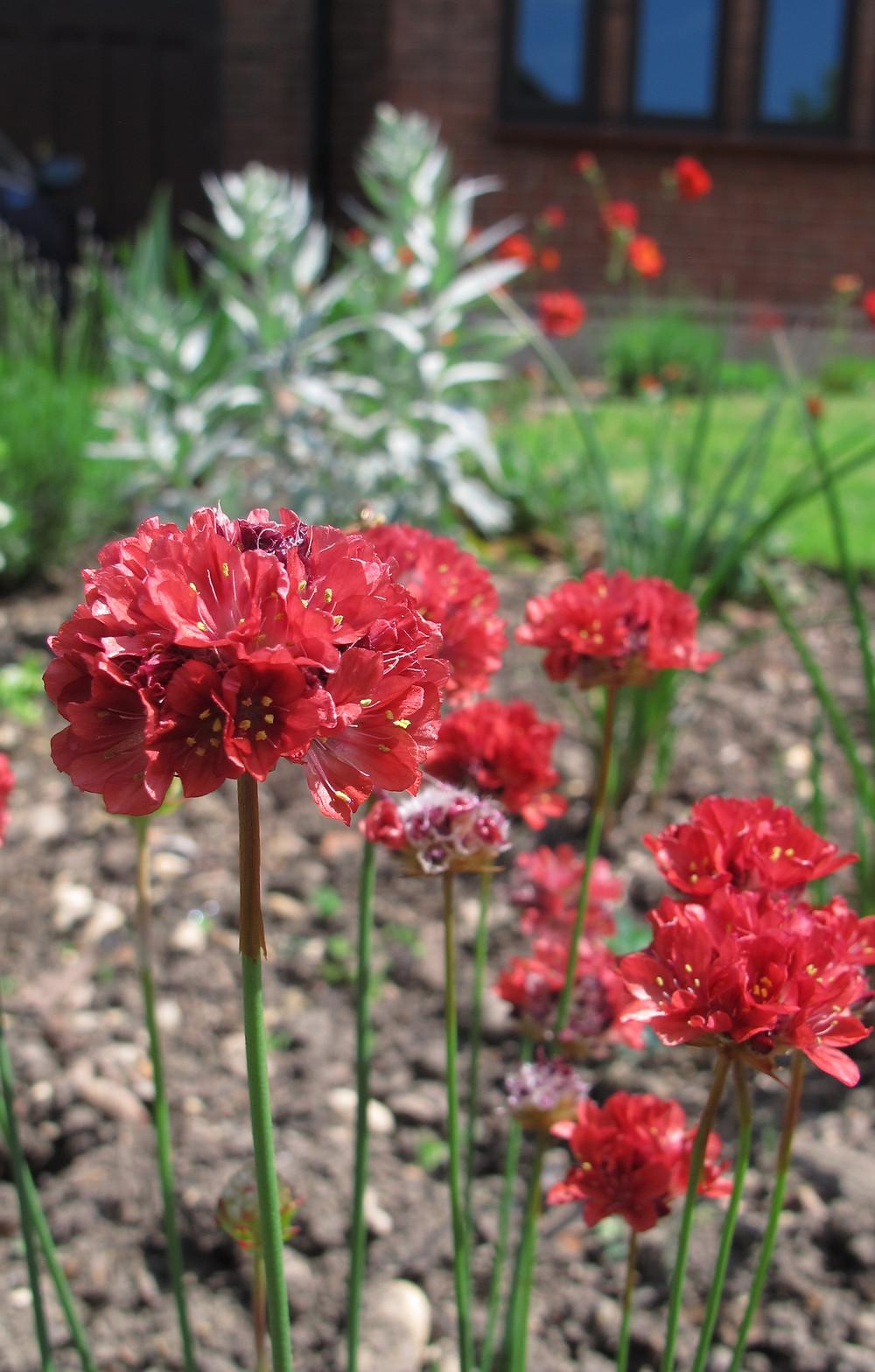 Armeria 'Ballerina Red' flowering in May