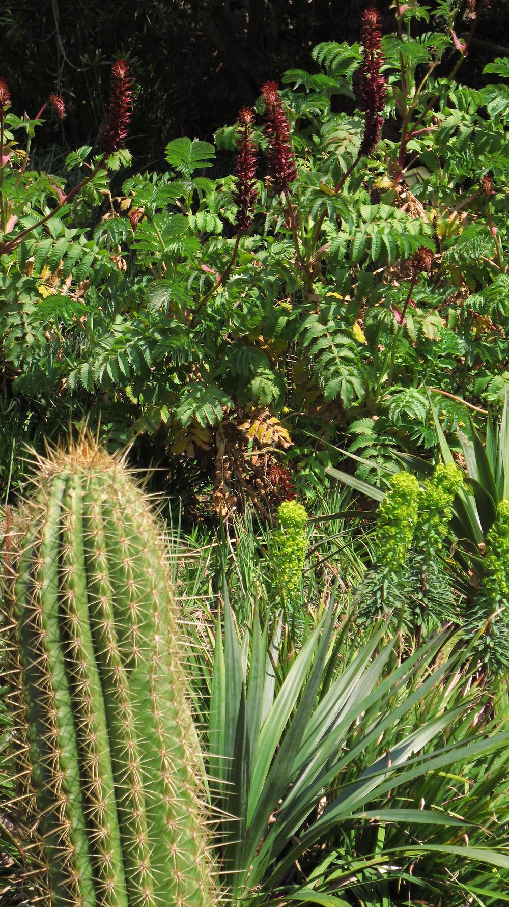 mediterannean plants, euphorbia, phormium, myrtle, devon garden, cactus, yucca,
