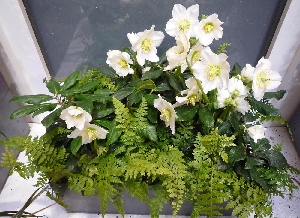 helleborus niger, xmas rose, designer planting scheme, garden designer north london, garden design barnet,