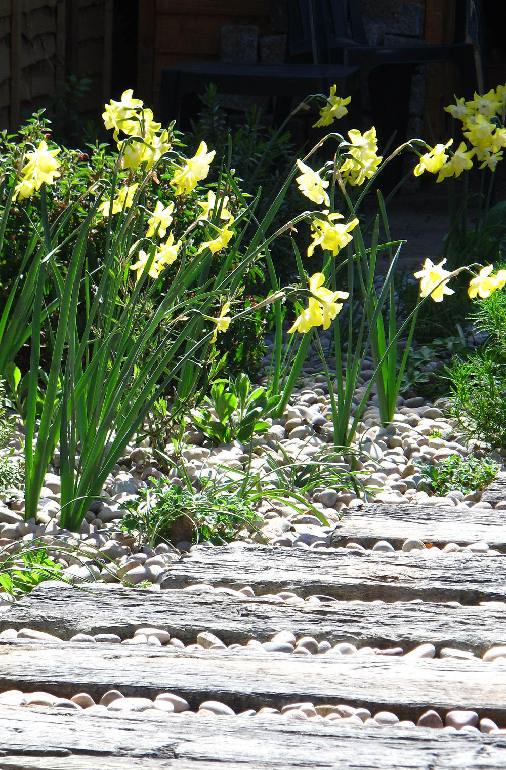concrete sleepers, gravel garden, spring bulbs, narcissus pipit, pebbles,