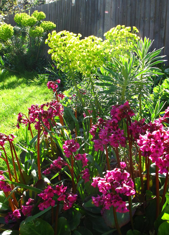 Bergenia 'Overture', Euphorbia charachias
