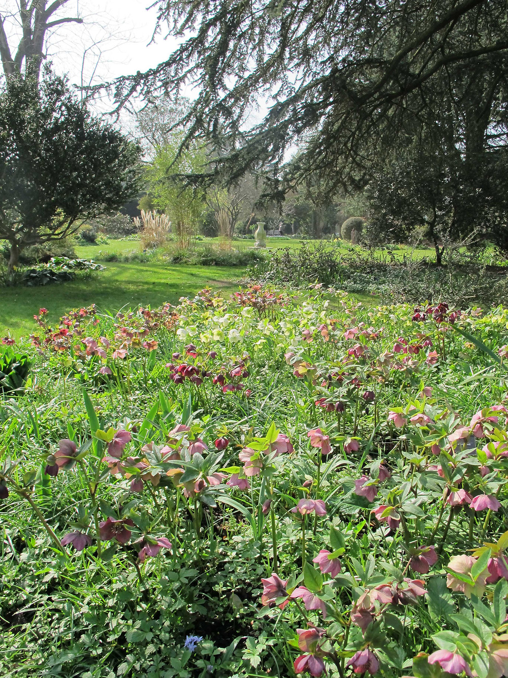 hellebores, myddleton house gardens, easter visit, Enfield
